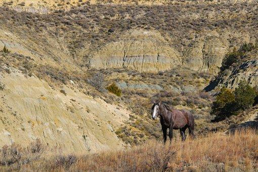 Stallion, Wild Horse, Mustang, North Dakota