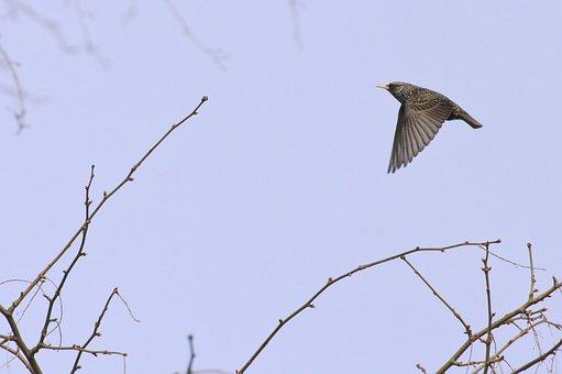 Common Starling, Starling, Bird, Wildlife, Nature