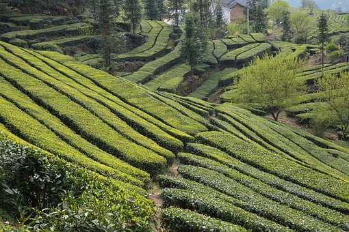 Tea Garden, Wufeng, Green Gang Ridge