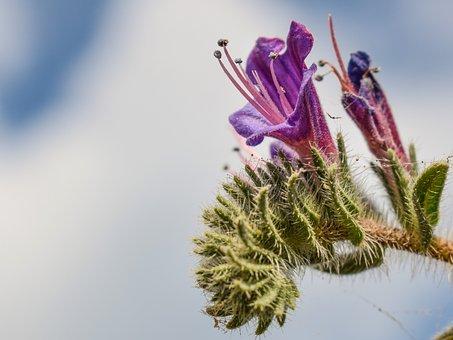 Echium Angustifolium, Wildflower, Purple, Flower