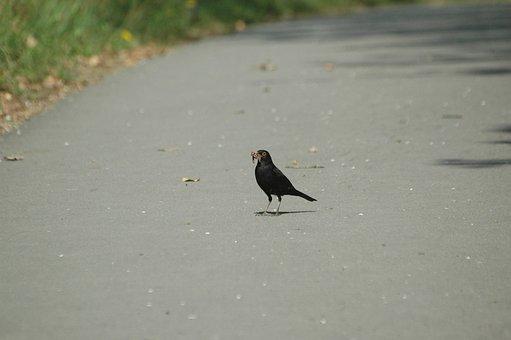 Blackbird, Worm, Eat, Songbird, Bird, Foraging
