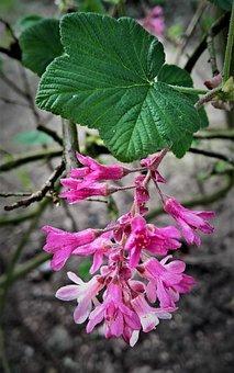 Plant, Blood Johann Berry, Zierjohannesbeere