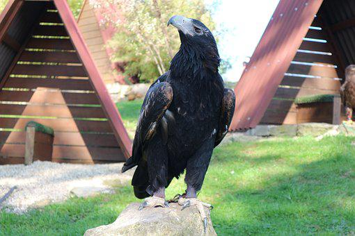 Adler, Eagles Waiting In Detmold, Bird, Bird Of Prey