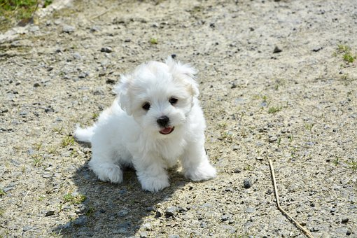 Puppy, Dog, Cotton Tulear, Petit, Animal, White Dog