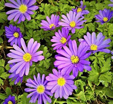 Balkan Anemone, Anemone Blanda, Lovely Anemone, Flower