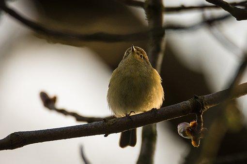 Willow Warbler, Bird, Songbird, Phylloscopus Trochilus