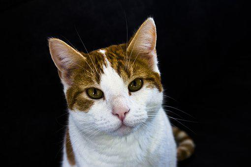 Cat, Pet, Cats, Cat Face, Feline, Animals, Cyper