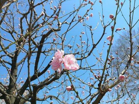 Cherry Blossom, Cherry Flowers, Spring, Flower, Flowers