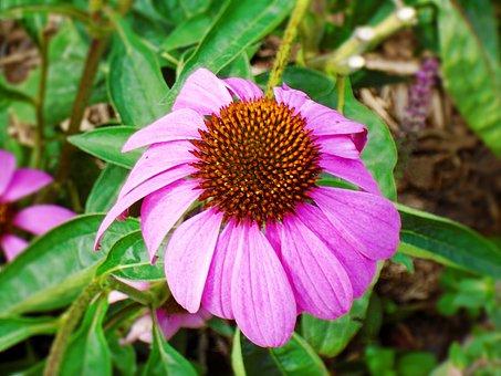 Cornflower, Echinacea, Pink, Flower, Floral, Petal