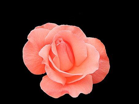 Rose, Nature, Flower, Blossom, Petal, Decoration