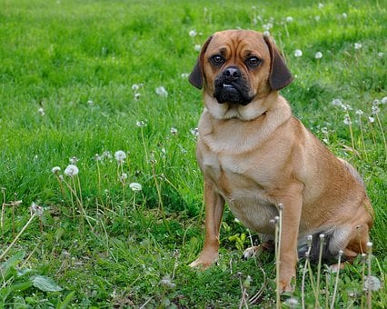Puggle, Dog, Smiling, Moby, Funny, Cute, Elvis Lip, Pug