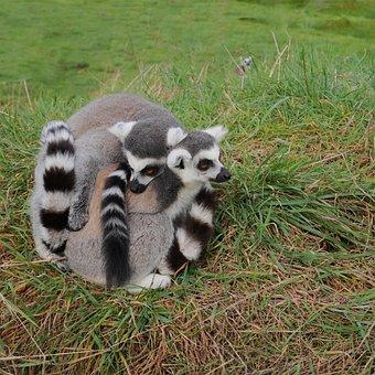 Three, 3, Lemur, Pair, Cuddle, Together, Furry, Fur
