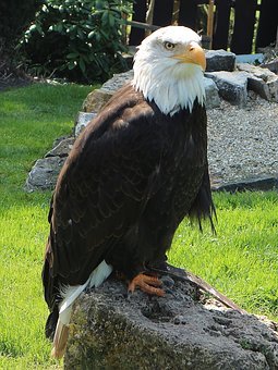 Adler, Golden Eagle, Raptor, Bird, Bald Eagle