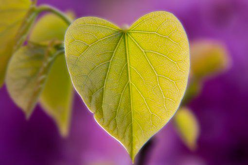 Leaf, Heart, Heart Shape, Judas Tree, Tree, Judas