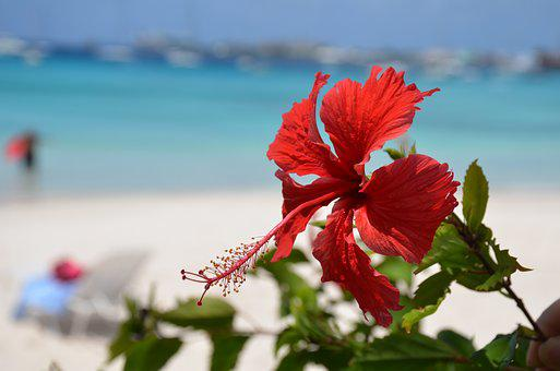 Beach, Hibiscus Flower, Caribbean, Sea, Sand