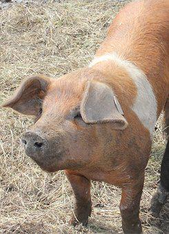 Pig, Animal, Happy Pig, Sow, Farm, Nature, Livestock