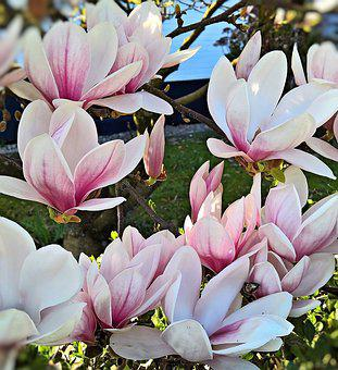 Magnolia, Tulip Magnolia, Plant, Bush, Tree, Nature