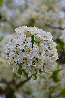 Spring, Garden, White, Cherry Blossom, Plant, Petal