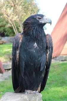 Eagles Waiting In Detmold, Adler, Bird Of Prey, Raptor