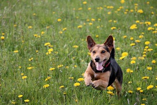 Dog, Meadow Play, Race, Fun, Action, Romp, Run, Jump