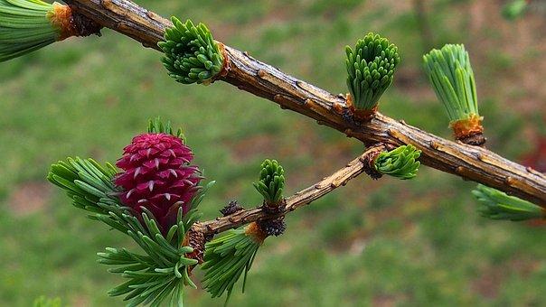 Iglak, Needle, Blooms, Bud, Nature, Spring, Closeup