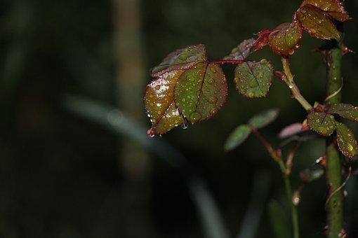Roses, Stem, Leaves, Green, Plant, Flowers, Zoom