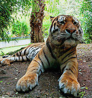 Siberian Tiger, Predatory Animals Zoo Münster, Tiger