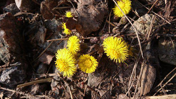 Coltsfoot, Spring, Yellow Flower