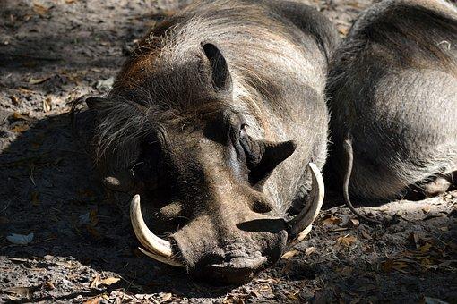 Warthog, Animal, Wildlife, Reserve, Zoo, Wild, African
