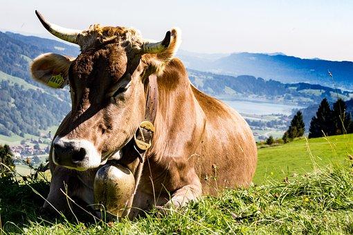 Allgäu, Cow, Pasture, Alm, Meadow, Cattle, Bavaria