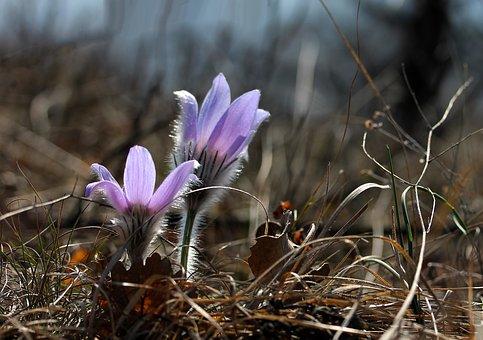 Pulsatilla Grandis, Anemone, Flower, Spring Flower