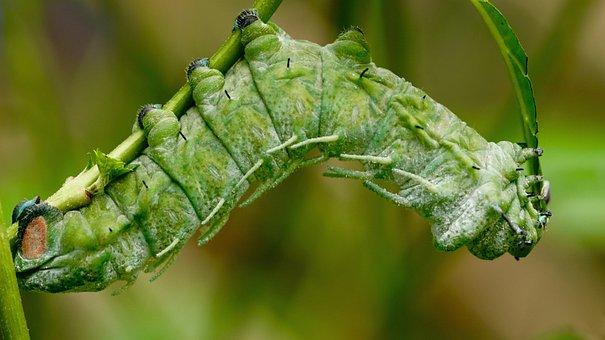 Caterpillar, Atlas Moth Caterpillar, Exotic