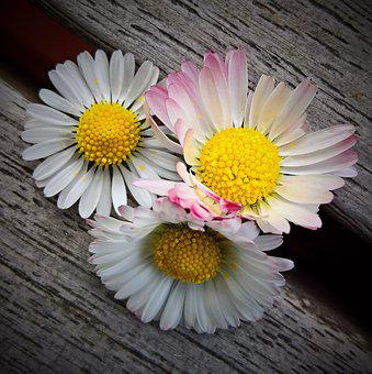 Daisy, Bellis, Wild Flower, Pointed Flower, Composites