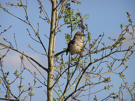 Mockingbird, Bird, Tree, Songbird, Florida, Nature
