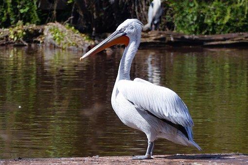 Bird, Pelican, Animal, Nature, Wildlife, Wild