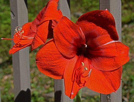 Red-hot Amaryllis, Flower, Blossom, Bloom, Bulb, Plant