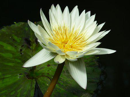 Water Lily, White, Aquatic Plant, Blossom, Bloom, Pond