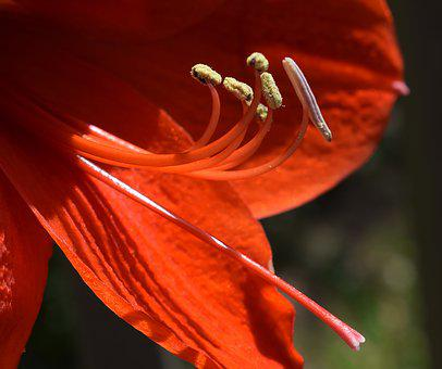 Amaryllis Stamens And Pistil, Azalea, Flower, Blossom