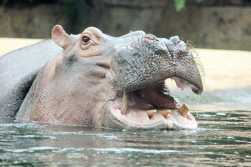 Hippo, Zoo, Hippopotamus, Close, Water