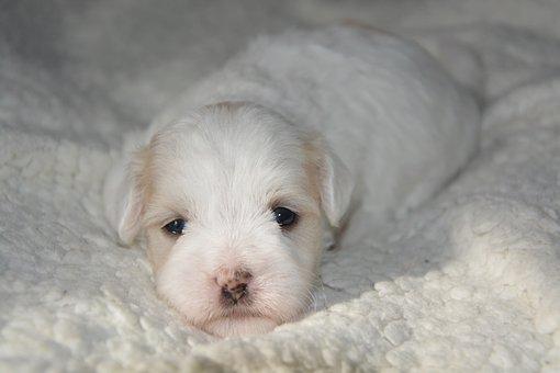 Puppy, Dog, Coat, Cotton Tulear, Animal, Animals, Petit