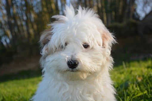 Puppy, Dog, White, Animals, Domestic Animal