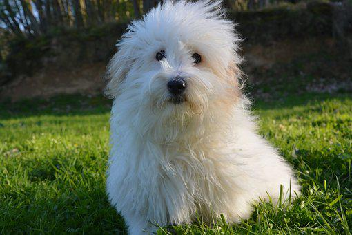 Dog, Coton De Tulear, Coat, White