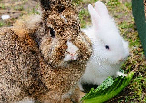 Rabbits, Fur, Cute, Bunny, Animal, Pet, Furry, Domestic
