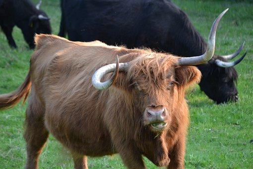 Beef, Cow, Cattle, Cows, Pasture, Horns, Animal, Graze