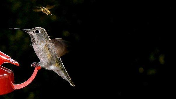 Bird, Bee, Hummingbird, Nature, Red, Feeder, Feeding