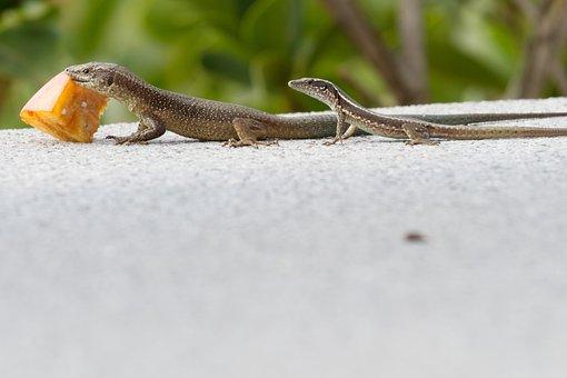 Lizard, Feeding, Madeira