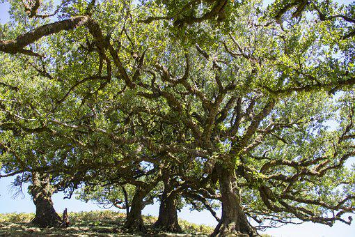 Laurel Forest, Laurel Tree, Madeira, Old Trees