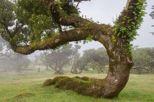 Laurel Forest, Laurel Tree, Madeira, Old Tree