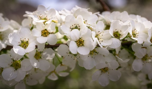 Meadowsweet Trees, Meadowsweet Flower, Flowers, Spring