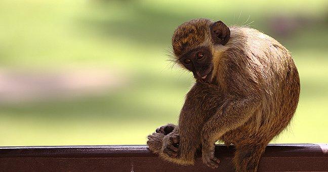 Monkey, Animals, Mammals, Wild Animal, Monkey Portrait
